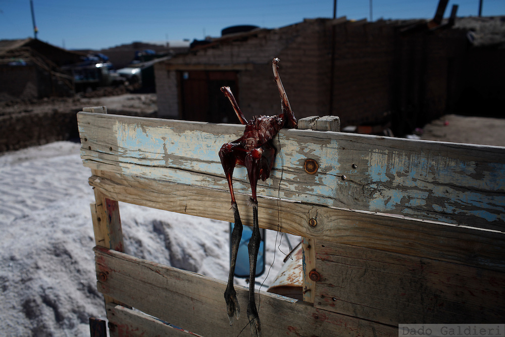 The dead body of a baby Chilean Flamingo (Phoenicopterus chilensis) hangs to dry on the back of a truck at the salt mining village of Colchani in southern Bolivia, Wednesday, July 28, 2010.   A late nidification triggered by extreme cold weather and severe droughts in their habitats, could be the cause why dozens of these graceful baby birds started to appear in cities that surround the salt flats of Uyuni. Unable to fly and being migratory animals they may have been left behind by their relatives on their routes escaping from the winter in the salty lagoons they live and reproduce. Hungry, disoriented and often too weak to fly or fend for themselves and find food on a new and hostile environment they are dying frozen, being smashed by touristic ATVs or trucks carrying mined salt across the flats or just being carried away by people that feel sorry and try to protect them from the cold in their houses.   (Photo Dado Galdieri)