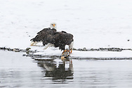 Bald Eagles (Haliaeetus leucocephalus) foraging on a Chum salmon along the Chilkat River in the Chilkat River Bald Eagle Preserve in Southeast Alaska. Winter. Morning.