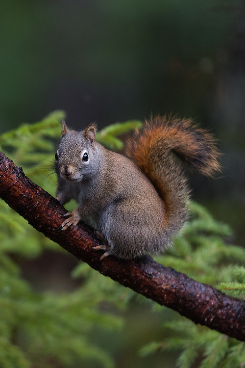 American Red Squirrel (Tamiasciurus hudsonicus), Bass Harbor, Maine