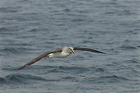 Grey-headed Albatross (Thalassarche chrysostoma) in flight<br />