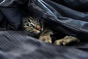 Cozy cat in bed under black quilt.