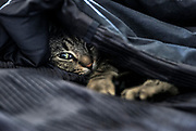 Cozy cat in bed under black quilt.