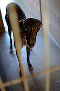 Abandoned greyhound waiting for a new owner at a crowded dog shelter, Madrid.