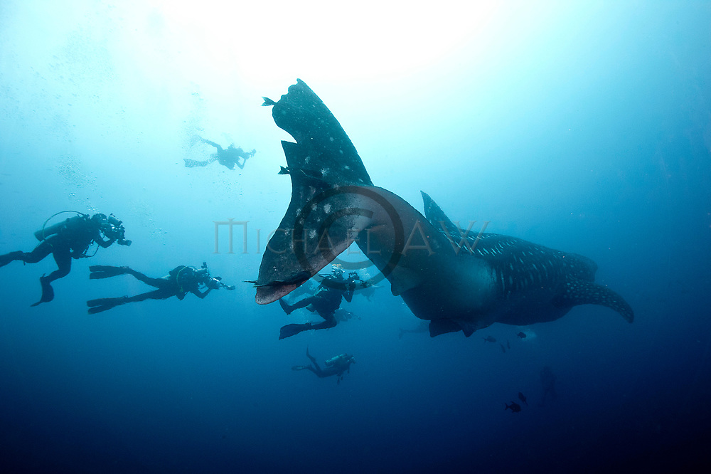 Female Whale shark at Galapagos, (Rhincodon typus) pregnant