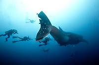 Female Whale shark at Galapagos, (Rhincodon typus) pregnant