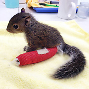 Too cute for words (almost): Adorable baby squirrel gets a bright red cast after falling 75ft from nest onto concrete and breaking her ankle<br /> <br /> When this baby squirrel fell out of a nest and tumbled 75ft onto a concrete sidewalk, it suffered a broken ankle, a chipped tooth and a bloody nose.<br /> <br /> Luckily, the adorable creature was quickly taken to a vet by a concerned passer-by.<br /> <br /> When the terrified animal arrived at City Wildlife in Washington D.C., it was given a bright red leg brace, was cleaned up by vets, and is now on the way to a full recovery. <br /> <br /> The wildlife rehabilitation centre in the city posted a photo of the tiny rodent Facebook and said: This baby squirrel was brought into City Wildlife after she fell 75 feet from her nest on to the concrete sidewalk below.<br /> <br /> 'She suffered a bloody nose, a broken tooth, and a broken ankle. Luckily, just like children, this squirrel is young enough that her ankle should heal very quickly. Send her your well wishes on a speedy recovery!'<br /> Photo shows: On the mend: This adorable baby squirrel was picked up from a sidewalk in Washington D.C. with a broken ankle, chipped tooth and bloody nose. Luckily, a concerned passer-by picked it up and took it to City Wildlife, where vets gave it a leg brace<br /> ©City Wildlife/Exclusivepix