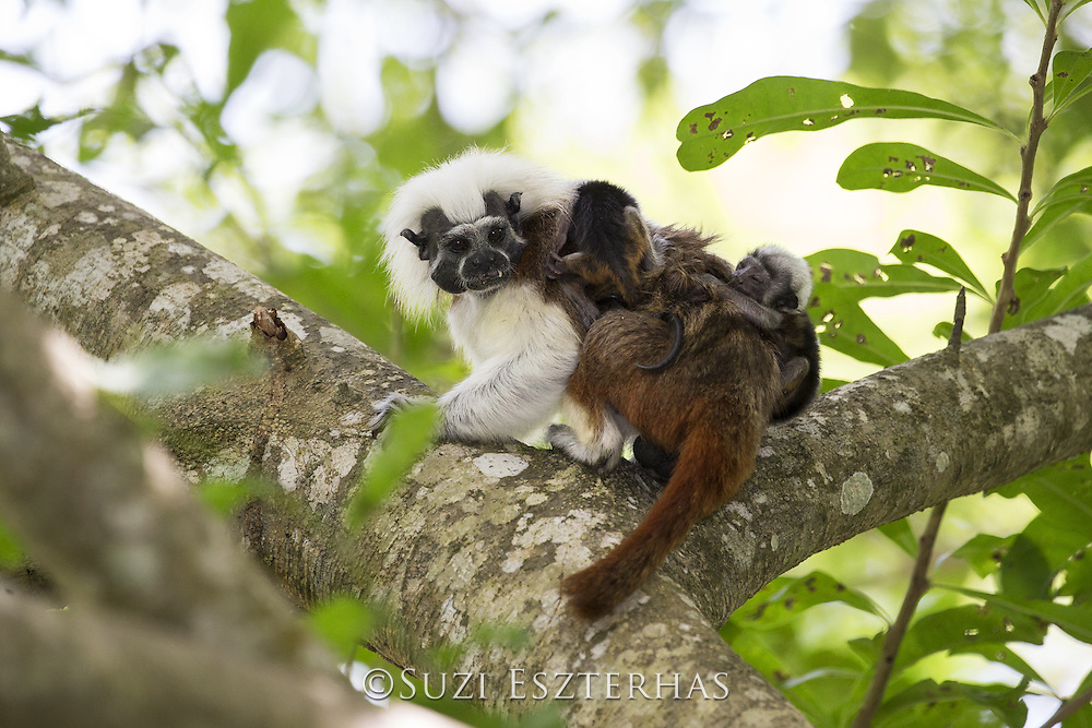 Cotton-topped Tamarin<br /> Saguinus oedipus<br /> Adult carrying two-week-old twin babies on back<br /> Northern Colombia, South America