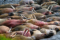 039078.AA.0820.warming10.kc--Bering Sea, Off Providenya, Russia--A walrus holdout is where the tusked mammal spends time basking in the sun. The story deals with the enviromental issue of global warming throughout the region of Russia directly across the Bering Sea from Nome, Alaska. The story touches on the people their way of living, the rough economy and the extent they are effected by the slowly warming temperature as documented by scientists.  More Details To Come.