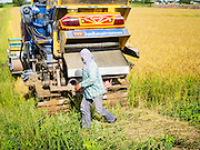 08 SEPTEMBER 2014 - BANG BAN, PHRA NAKHON SI AYUTTHAYA, THAILAND: A worker gets ready to harvest rice on a farm in Ban Bang, Phra Nakhon Si Ayutthaya province north of Bangkok. Rice farmers in central Thailand are harvesting their rice crop. The race is on to get the rice harvested before the Chao Phraya River and its tributaries start their cycle of annual floods. Although the central plains have gotten less rain than normal, communities in northern Thailand are experiencing a heavy monsoon and flood gates upriver of the central plains have been opened. The flood waters are expected to reach Phra Nakhon Si Ayutthaya province by the middle of September. This year's rice crop is expected to be lower than last year's because many farmers planted less rice because the government subsidy program ended.       PHOTO BY JACK KURTZ