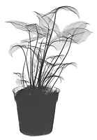 X-ray image of a potted syngonium plant (Syngonium, black on white) by Jim Wehtje, specialist in x-ray art and design images.