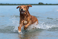 Golden Retriever Barney running along beach,    Photo: Peter Llewellyn