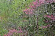 Flowering eastern redbud (Cercis canadensis), spring, Eno River State Park, North Carolina