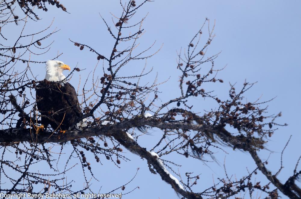 Bald eagle perching in a western larch in winter. Near Kila, northwest Montana.
