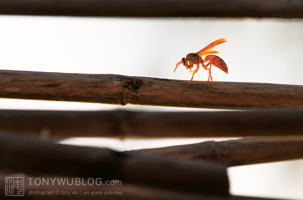 Yellow paper wasp (Polistes olivaceus) grooming itself at sunset, in between sessions of scraping the bamboo poles for material to construct a hive.
