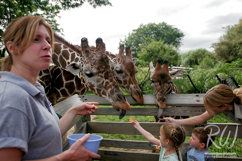 Young Kids Feeding Giraffes under the guidance of Zookeepers at the Indianapolis Zoo, Indiana