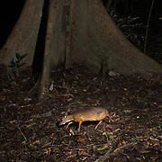 Lesser Oriental Chevrotain is found in lowland/foothill primary and secondary forests as well as cultivated areas up to 600 m in elevation . The habitat of this species is a mosaic of riverine, seasonal swamp and dry undulating country, vegetated predominantly by legumes and dipterocarps.