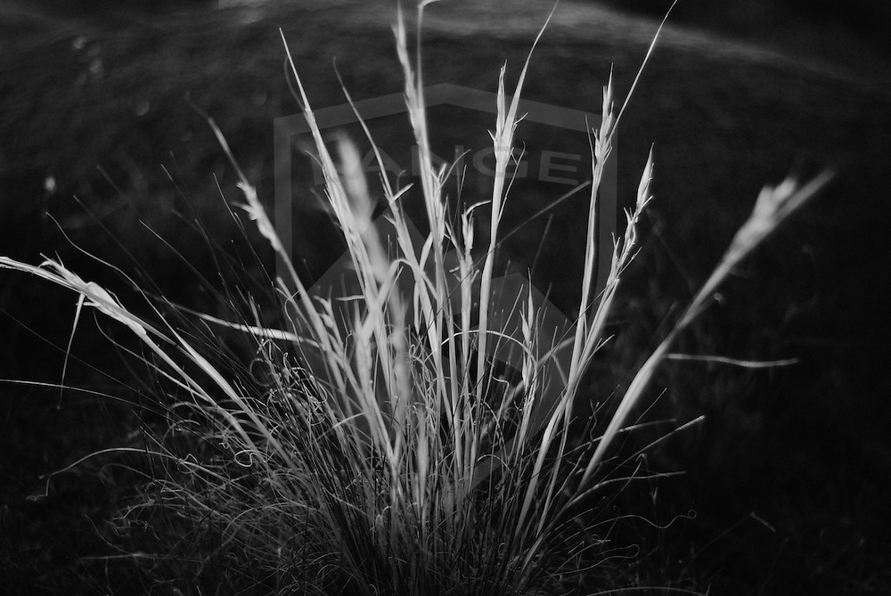 in the foothills of the sandia mountains of albuquerque, new mexico, grama grass grows widely throughout the landscape.  here photographed in black and white, and silhouetted by sunset light, the grama grass takes on a simple and graphic expression of nature.