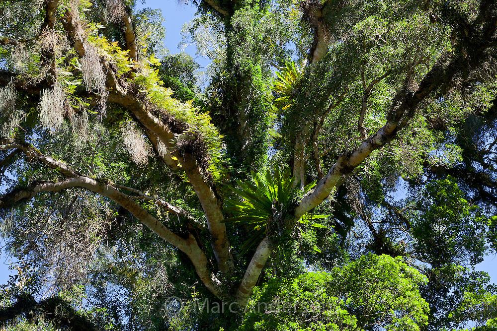 Lush tree in termperate rainforest, Barrington Tops National Park, NSW, Australia