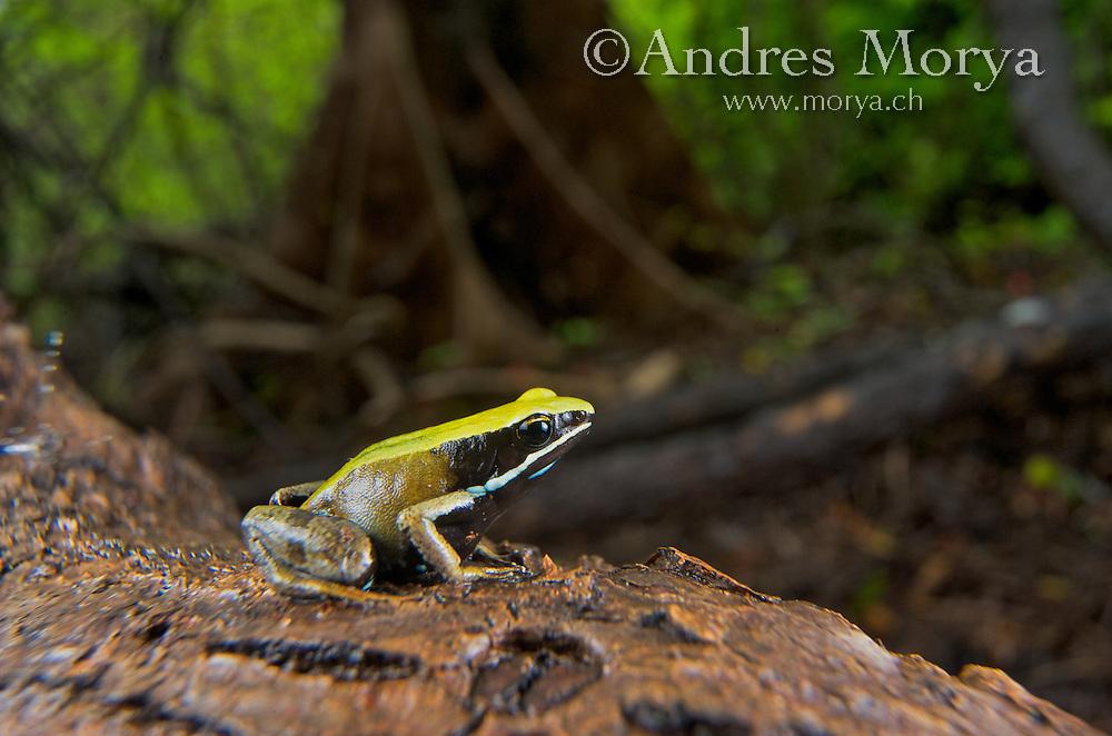 Green Mantella (Mantella viridis), Montagne des Franais Reserve Antsiranana, Northern Madagascar, Africa Image by Andres Morya
