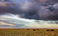 Bison herd with calves at sunrise at Fort Niobrara National Wildlife Refuge in Valentine, Nebraska, USA