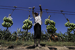 Men work in a banana plantation in Manzanillo municipality, Montecristi province, in Dominican Republic, on April 9, 2013. Dominican Republic exported about 300,000 tons of bananas to European Union (EU) countries in 2012, which makes the country the principal seller of EU, April 9, 2013. Photo by Imago / i-Images...UK ONLY.