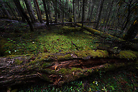 With green moss covered trees in a forest near the glacier lake at Mount Bawu Bameng, in the Meili Snow Mountain National park, Yunnan, China. Some trees fell and are dead but still full of life.