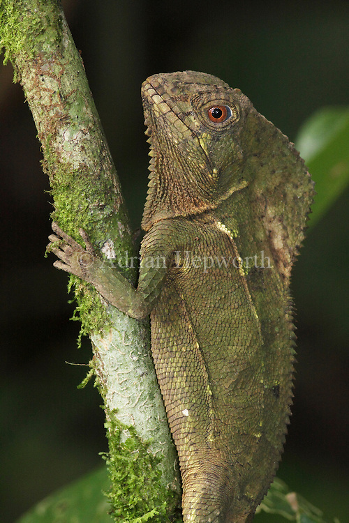 Helmeted Iguana ( Corytophanes cristatus) in rainforest. La Selva Biological Station, Costa Rica. <br />