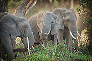 Elephants in Amboseli National Park feeding on grass and tree bark