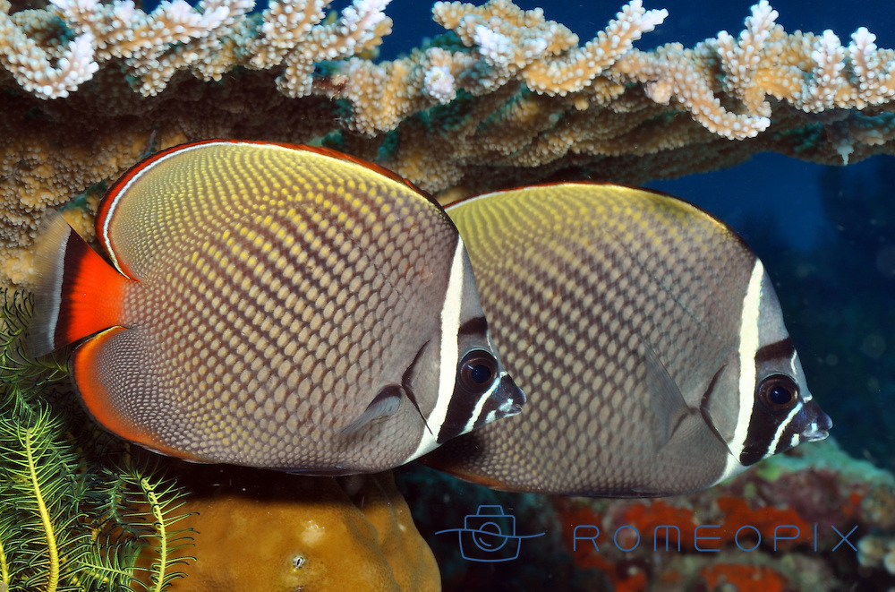 similan island , surin island, butterfly fish in couple standing down the corals, like twins