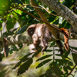 """Guigó (Callicebus personatus) fotografado em Santa Maria de Jetibá, Espírito Santo -  Sudeste do Brasil. Bioma Mata Atlântica. Registro feito em 2016.<br /> <br /> <br /> <br /> ENGLISH: Masked titi monkey<br />  photographed  in Santa Maria de Jetibá, Espírito Santo - Southeast of Brazil. Atlantic Forest Biome. Picture made in 2016."""