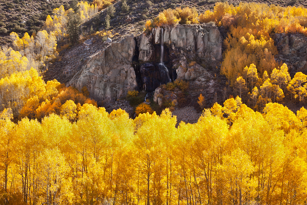 Distant waterfall surrounded by brilliantly golden Apsens in Lee Vining Canyon in the Eastern Sierra of California