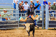 14 JULY 2012 - OAK SPRINGS, AZ:   A Navajo cowboy bucks out a bull Saturday afternoon on the last day of a bull riding class at the Aspen Canyon Rodeo Club in Oak Springs. The bull riding class was offered by the Crooked Horn Cattle Co. in the community of Oak Springs on the Navajo Nation, about 15 miles south of Window Rock, AZ. Eleven cowboys signed up for bull riding classes and one signed up for bull fighting classes. The bull riding class started with lessons on a mechanical bucking machine before the cowboys rode bulls.    PHOTO BY JACK KURTZ