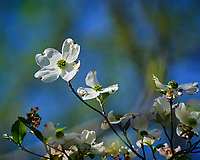 Dogwood tree flowers.  Image taken with a Fuji X-H1 camera and 200 mm f/2 lens + 1.4x teleconverter (ISO 200, 280 mm, f/5, 1/750 sec)