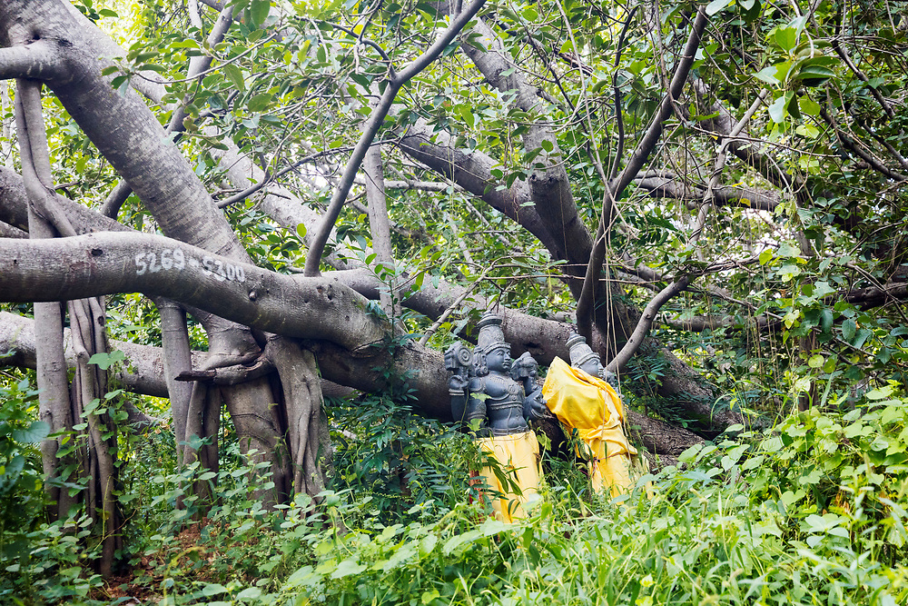 """THIMMAMMA MARRIMANU, INDIA - 29th October 2019 - Thimmamma Marrimanu - the world's largest single tree canopy. With more than 4000 roots, the banyan tree (Ficus benghalensis) was first added to the Guinness Book of World Records in 1989 (its entry updated in 2017) as being 550 years old and having the """"greatest perimeter length for a tree"""", spreading over five acres with a circumference of 846m. Andhra Pradesh, South India."""