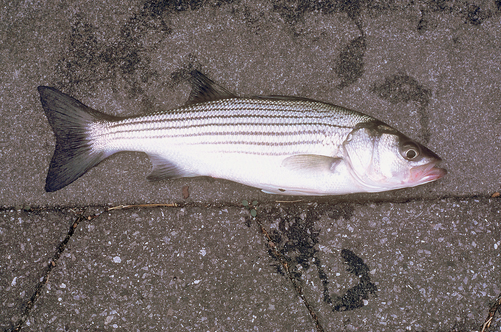 A fish on the pavement