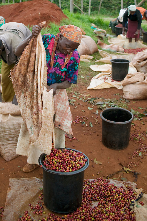 Africa, Kenya, Ruira, (MR) Elderly woman working as picker sorts through piles of ripe Arabica coffee beans during harvest at  Socfinaf's Oakland Estates coffee plantation