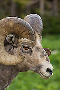 Bighorn Sheep; Logan Pass, Glacier National Park, Montana.