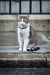 © Licensed to London News Pictures. 02/08/2016. London, UK. Larry, the Prime Minister's cat, sits on Downing Street. He has been caught fighting with Foreign Office rival Palmerston in recent weeks. Photo credit: Rob Pinney/LNP
