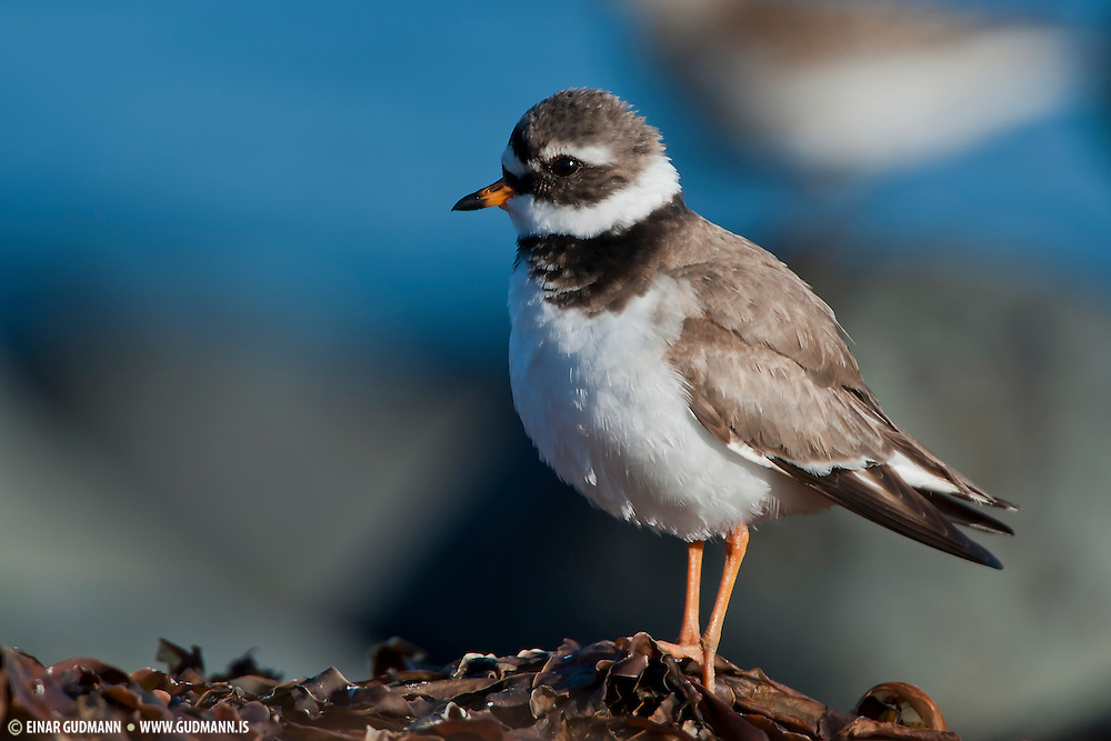 The Ringed Plover (Charadrius hiaticula) is a small plover. The Ringed Plover's breeding habitat is open ground on beaches or flats.