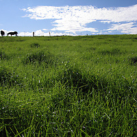 Horses graze in Waimea, Hawai'i.