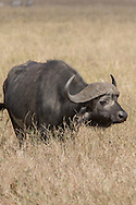 Cape buffalo on the Serengeti plains in East Africa