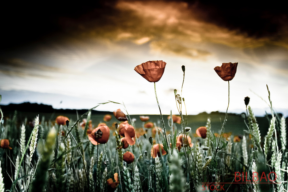 corn poppy, corn rose, field poppy, Flanders poppy, or red poppy (Papaver rhoeas).<br />