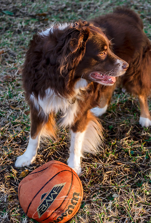 Cowboy, a six-year-old Australian Shepherd, stands in the evening sun with a basketball, March 1, 2014. (Photo by Carmen K. Sisson/Cloudybright)