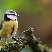 Blue tit. In the winter of 1946-47, a new student at the EGI, John Gibb, erected nesting boxes in and around Marley, part of Wytham Woods. He also erected a small garden shed in which he lived for each of the three following summers. The first breeding season was 1947, so that in 2013 will be the 67th; possibly no other bird population has been continuously studied for so long in a single place.