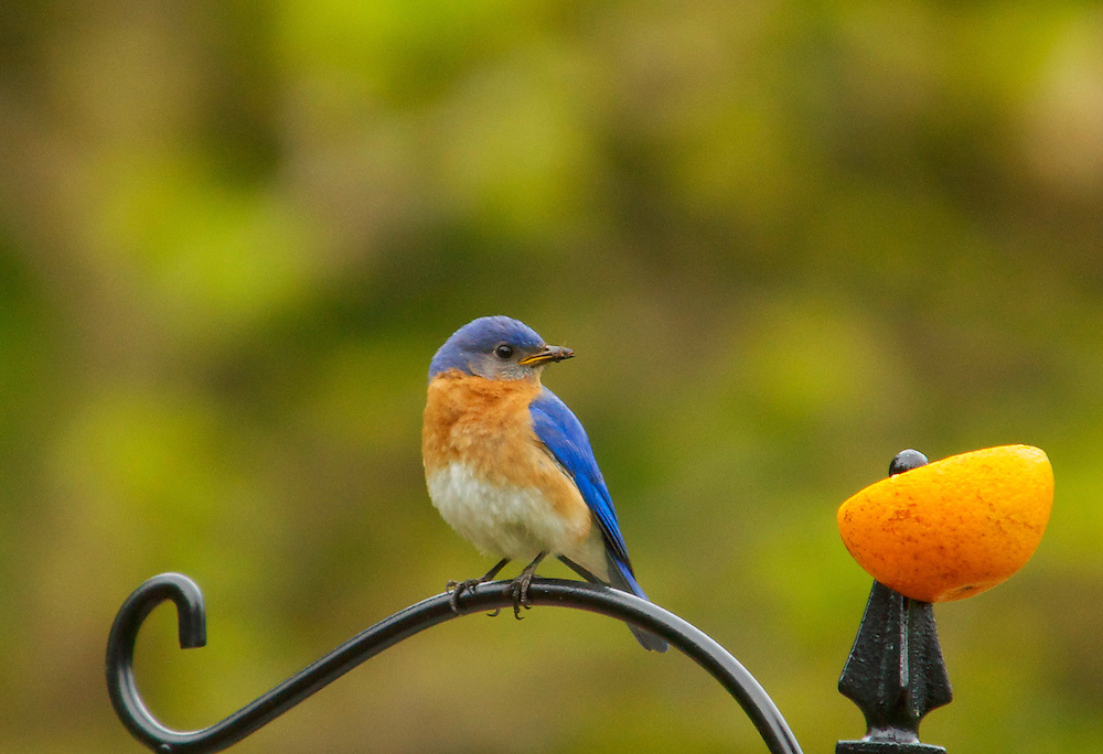A male bluebird perched on a wrought iron post looking off into the distance.