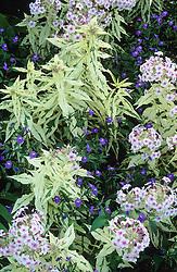 Browallia americana with Phlox 'Nora Leigh' at Great Dixter