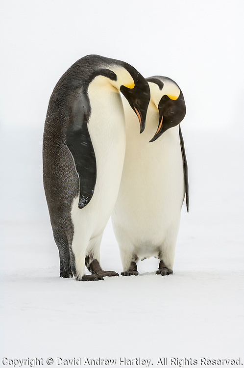 A pair of courting Emperor Penguins (Aptenodytes forsteri), Admiralty Sound, Antarctica