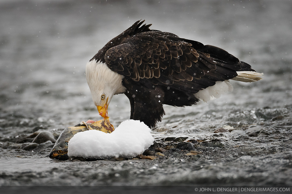 A bald eagle (Haliaeetus leucocephalus) feeds on a salmon in the Chilkat River as it snows in the Alaska Chilkat Bald Eagle Preserve near Haines, Alaska.