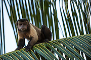 Brown (Tufted) Capuchin (Sapajus apella)<br /> GUYANA<br /> South America