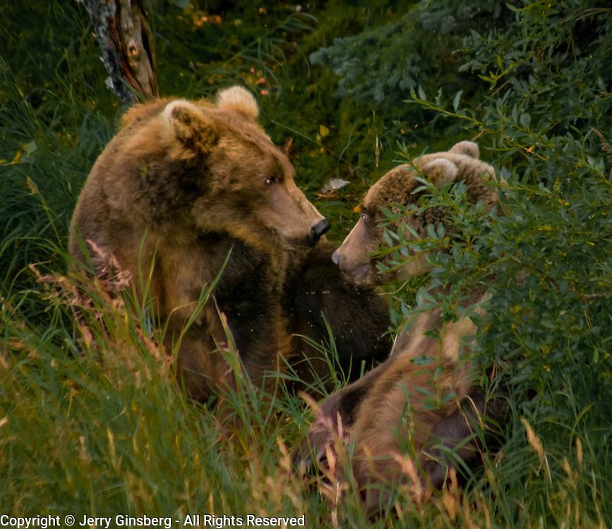 North America, United States, Northwest, Pacific Northwest, West, Alaska, Katmai, Katmai National Park, Brooks River, Grizzly bear, brown bear. Alaskan brown bear (grizzly) sow and cub Brooks River, Katmai National Park, Alaska.